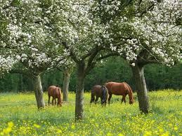 chevaux pommier pays d'auge