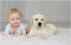 bebe vs labrador le duel